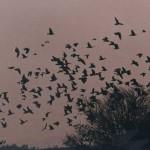 Pigeon Flock in Argentina
