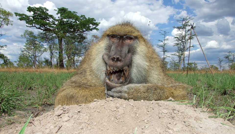 baboon-hunting-south-africa