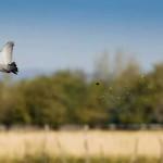 Cordoba Pigeon