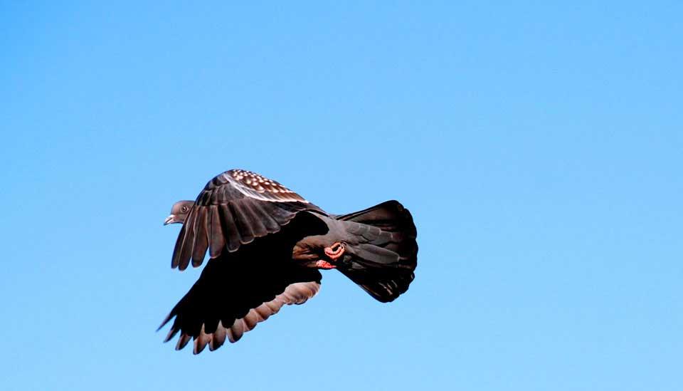 Cordoba Pigeon Hunting
