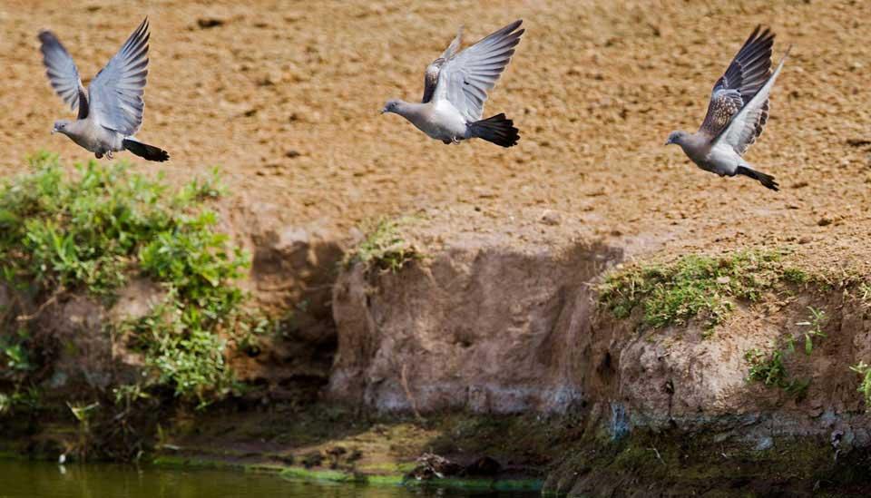 Cordoba Pigeons