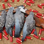 Dead Pigeons
