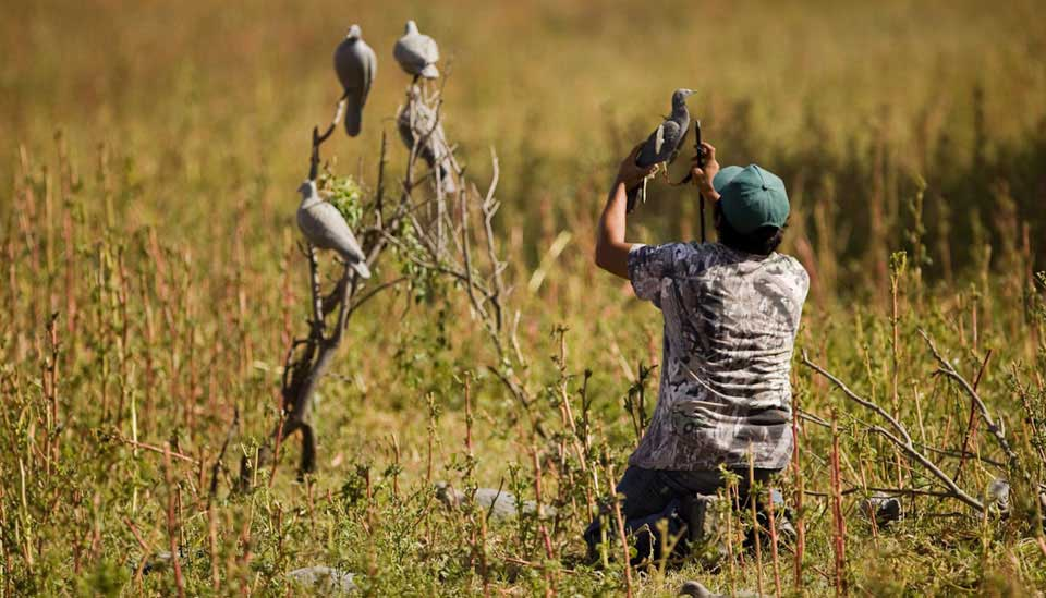Setting out Decoys for Pigeons
