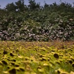 Doves flying over a Sunflower Field