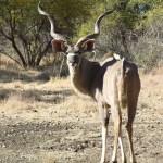 African Kudu Hunting